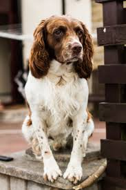 Do Brittany Spaniels Shed Hair by 99 Best Brittany Spaniel Dogs Images On Pinterest Brittany