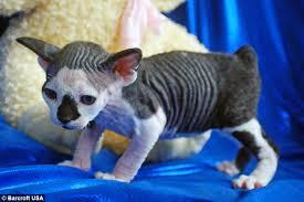 bobtail cat new cat species meet the hairless sphynxiebob and bambob