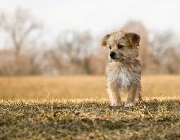 Morkies Do They Shed by Morkie Dog Breed Everything About Morkies