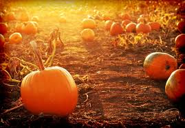 Norms Pumpkin Patch 2015 by Harvest Tyme Harvest Tyme Pumpkin Patch