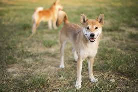 Do Shiba Dogs Shed by These 10 Dog Breeds Look So Much Like Wolves Really
