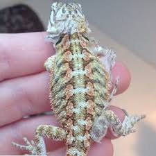 Bearded Dragon Shedding A Lot by Care Sheet Danny U0027s Dragons
