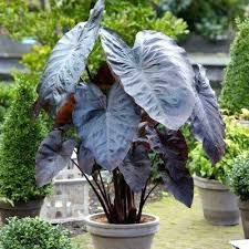 elephant ears bulbs elephant ear bulbs for sale canada