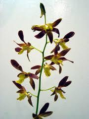 après la floraison des orchidées