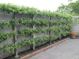 Espaliered Fruit Trees! Great Way To Grow Fruits Along The Walls ... Backyard Farming Photo On Marvelous Fruit Trees Texas Plant A Tiny Orchard Hgtv Dwarf Peach Tree Peaches And Ctarines Pinterest 81 Best Pattern 170 Images On Garden And Berries In Small Mesmerizing 3 Fruit Trees For Small Space Yards Patios Youtube Backyards Gorgeous 135 Good For Yards Splendid Interesting Pics Decoration Inspiration Best To Grow Cool Glamorous Privacy Design 25 Ideas Patio