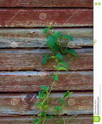 Vine Climbing Old Barn Wall Stock Image - Image: 81812513 Mortenson Cstruction Incporates 100yearold Barn Into New Old Wall Of Wooden Sheds Stock Image Image Backdrop 36177723 Barnwood Wall Decor Iron Blog Wood Farm Old Weathered Background Stock Cracked Red Paint On An Photo Royalty Free Fragment Of Beaufitul Barn From The Begning 20th Vine Climbing 812513 Johnson Restoration And Cversion Horizontal Red Board 427079443 Architects Paper Wallpaper 1 470423