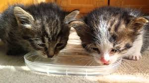 water for cats pair of tiny kittens drink water for time with cats