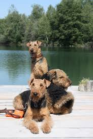 Airedale Terrier Non Shedding by 158 Best Airedales And Terriers Images On Pinterest Airedale