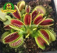carnivorous insectivorous succulent plant dionaea muscipula seeds