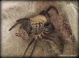 Tarantula Shedding Skin Time Lapse by Images About Chilobrachys Tag On Instagram