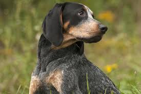 Do Bluetick Coonhounds Shed by Bluetick Coonhound Dog Breed Information