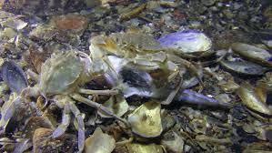 decorator crabs eat fish do crabs eat fish crab