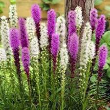 liatris spicata blazing plants and flower