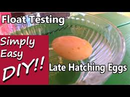 Bad Eggs Do They Float Or Sink by Late Overdue Hatching Float Testing Egg Viability Youtube