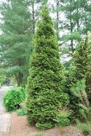 Christmas Trees Types by Types Of Evergreen Trees Green Giant U0027 Arborvitae A Terrific