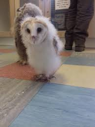 BARN OWL GROWING UP - Album On Imgur Barn Owl New Zealand Birds Online Audubon California Starr Ranch Live Webcams Barn Red My Pet Pupo The Barn Owl Mouse Youtube Babyowl Explore On Deviantart Adopt An The Wildlife Trusts Wikipedia Owlrodent Research Project Vineyard Owl Lookie My Pet Growing Up Growing Up Album Imgur Made Out Of Wood And Plant Materials I Found At Parents