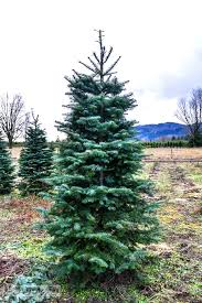Landing The Perfect Walking Tree At Woodsong Christmas Trees
