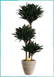 zimmerpflanze raquo drachenbaum compacta laq miniatur