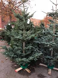 We Are Thrilled To Be Able Offer You Natural Noble Fir Abies Procera Christmas Trees Which Grown With Little No Shearing