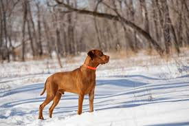 Do Hungarian Wirehaired Vizslas Shed by Vizsla Dog Breed Everything About Vizsla