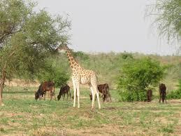 West African Giraffe Etotepe Sogbohossou