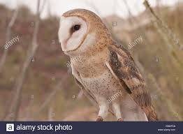 Common Barn Owl (Tyto Alba) The Sonoran Desert Of Arizona Stock ... Common Barn Owl 4 Mounths In Front Of A White Background Stock Royalty Free Images Image 23603549 Known Photo 552016159 Shutterstock Owl Wikipedia 644550523 Mdc Discover Nature Tyto Alba Perched On A Falconers Arm At Daun Audubon Field Guide Mounths Lifeonwhite 10867839 Barnowl 1861 Best Owls Snowy Saw Whets Images Pinterest Photos Dreamstime