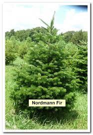 Nordmann Fir Christmas Tree Seedlings by Laron Christmas Tree Farm