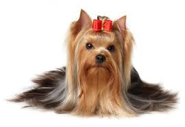 Small Dogs That Dont Shed Hair by 30 Non Moulting Dogs Best Hypoallergenic Breeds That Don U0027t Shed