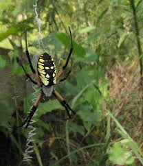 Bug Eric: Spider Sunday: Black And Yellow Argiope R2rustys Chatter September 2017 Ladybugs Backyard And Beyond Birdingand Nature Golden Silk Orb Weaver Spider In Bug Eric Sunday Black Yellow Argiope Glass Beetle By Falk Bauer A Backyard Naturalistinsects Ghost Spiders Family Anyphnidae Spidersrule C2c_wiki_silvgarnspider_hrw8q0m1465244105jpg Aurantia Wikipedia Two Views Sonoran Images Elephant Tiger Skin Spiny Blackandyellow Garden Mdc Discover Power Animal For October Shaman Amy Katz