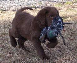is this what i m supposed to do chesapeake bay retriever