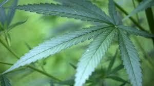 behörde erlaubt hanf anbau ms patient darf cannabis im