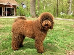 Non Shedding Dogs Large by About Labradoodles Aussiedoodle And Labradoodle Puppies Best