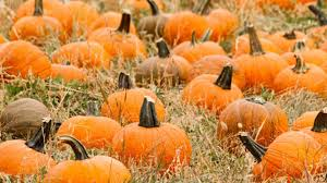 Colorado Springs Pumpkin Patch by A Pumpkin Shortage Worth Worrying About 9news Com
