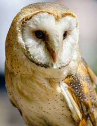 Free Images : Wing, White, Mystical, Beak, Feather, Fauna, Raptor ... Barn Owl New Zealand Birds Online Audubon California Starr Ranch Live Webcams Barn Red My Pet Pupo The Barn Owl Mouse Youtube Babyowl Explore On Deviantart Adopt An The Wildlife Trusts Wikipedia Owlrodent Research Project Vineyard Owl Lookie My Pet Growing Up Growing Up Album Imgur Made Out Of Wood And Plant Materials I Found At Parents