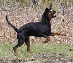 Do Black And Tan Coonhounds Shed by Black And Tan Coonhound Dog Breed Plus