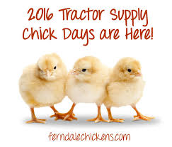 Tractor Supply Heat Lamp by Uncategorized Ferndale Chickens