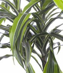 dracaena fragrans lemon lime drachenbaum lemon lime