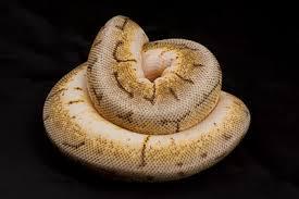 tsk the snake keeper