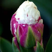 tulip bulbs tulips 150 75 per 100 bulbs
