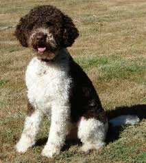 lagotto romagnolo dog breed information and pictures
