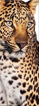 artissimo glasbild 30x80cm ag8918a leopard bild aus