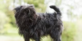 Low Shedding Dogs In India by Affenpinscher Information Characteristics Facts Names