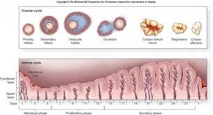 uterine wall shedding menstrual cycle michigan medicine anatomy