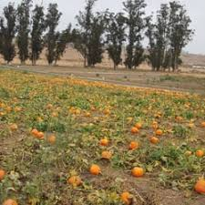 Peter Pumpkin Patch Petaluma by Spring Hill Farm 13 Photos U0026 13 Reviews Specialty Food 4235