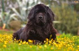 low shedding large dogs 100 images mini dogs breeds list