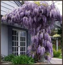 planting wisteria in a pot cheap wisteria plant find wisteria plant deals on line at alibaba