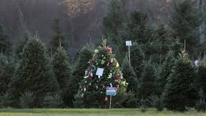 Christmas Tree Species by Check It Out Tag Now And Cut Later At R I Christmas Tree Farms