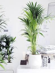kentia palme schlafzimmer pflanzen pflanzen kentia palme