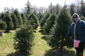 Canaan Fir Good Christmas Tree by Christmas Tree Farming Throughout The Year Collopyfamilyfarm