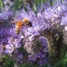 cherrygal flower bee s friend organic heirloom seeds